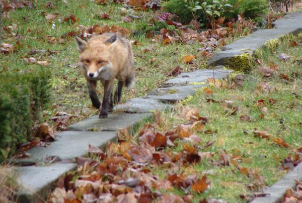 Fuchs in der Großstadt (© L. Artmann/Stiftung Naturschutz)