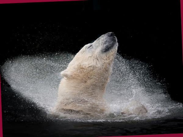 Eisbär (©Michaela Šmídová, Winner, Open, Nature, & Wildlife, 2016 Sony World Photography Awards)
